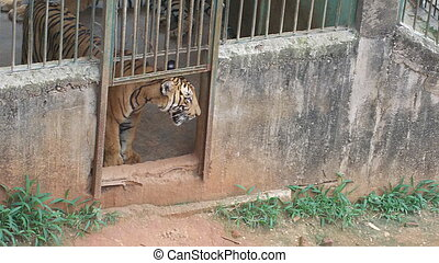 Tiger in a Zoo - A tiger caged in a zoo