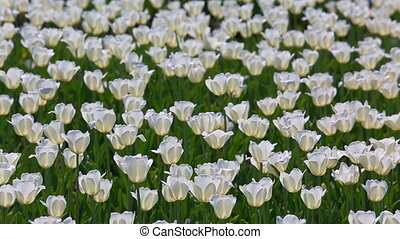 field of white tulips blooming