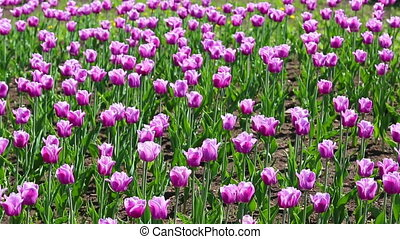 purple with white border tulips blooming varieties of...
