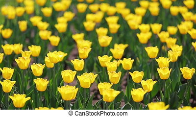field of yellow tulips blooming - shallow depth of field