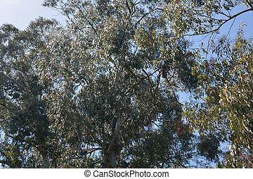 Myriaceae eucaliptus leaves - Myriaceae eucaliptus tree in...