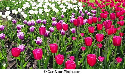 field of blooming different color tulips - slider dolly shot