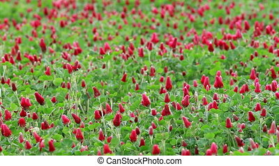 Beautiful Crimson clover flower field
