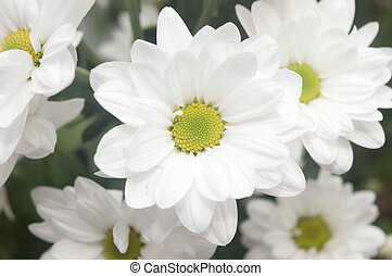 Bouquet of white chrysanthemum on a wooden background