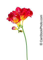 branch of red and yellow freesia - The branch of red and...