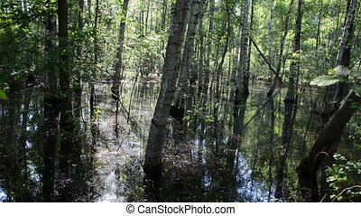 flooded birch grove - flooded water young birch grove a nice...