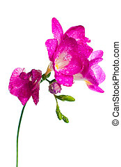 branch of pink freesia - A branch of pink freesia with...