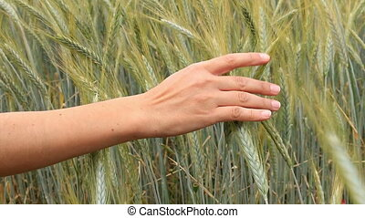 Mature cereal field  with hand