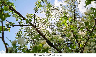 sun shining through blossom apple tree branches - slider...