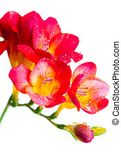 red and yellow flowers of freesia - Close up of red and...