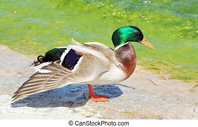 Duck mallard (anas platyrhynchos) wing open - Male duck...