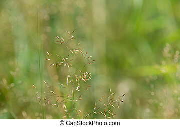 Grass panicle - Green background of a grass panicle, plant...