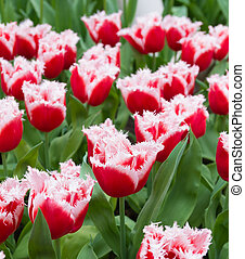 blooming tulips - red with white tulips with typical fringed...
