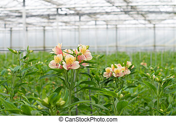 blooming flowers in a commercial greenhouse
