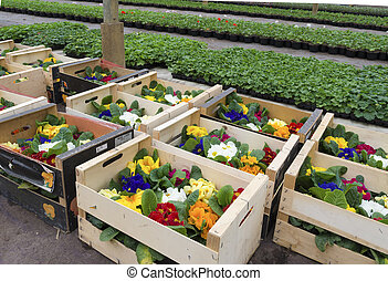 crates with flowers - crates with primula flowers in a...