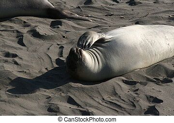 Elephant Seal in the sun