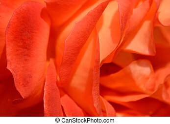 Abstract rose petals