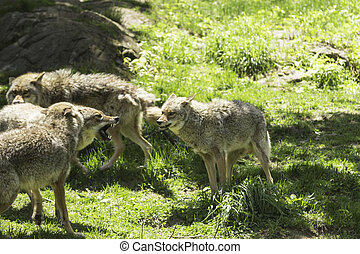 Howling coyotes