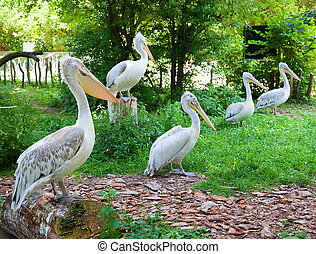 pelicans standing in a row