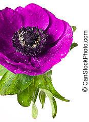 anemone pink flower