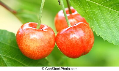 Sweet Cherry and Ant on the garden