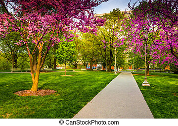 Redbud trees along a path at the Capitol Complex in...