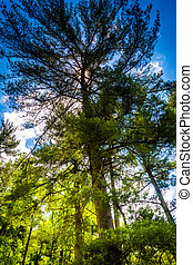 Pine trees at Loch Raven Reservoir in Baltimore, Maryland.