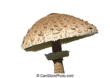 Parasol mushroom 04
