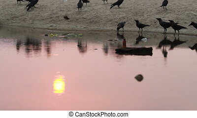 Crows on the river bank. Sunset.