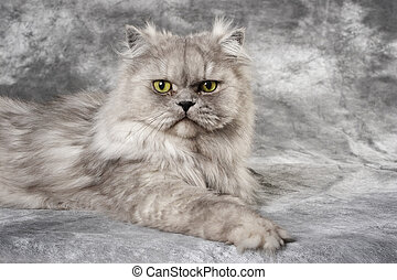 Gray Persian Cat - a grey Persian cat is sitting on a grey...
