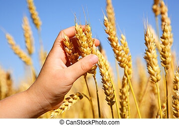 Child holding wheat - a close up of a young boy\'s hand as...