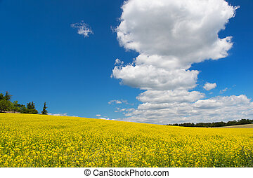 Oil seed rape field against blue sky and white clouds