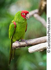 Retrato, vermelho, verde, conure, Papagaio