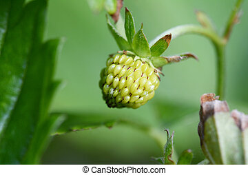 Unripe strawberry fruit - Macro of an unripe strawberry...