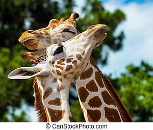 Adult giraffes grooming each other