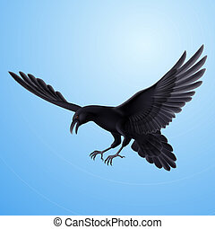 Black raven on blue background - Aggressive flying raven on...