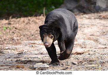 malayan sunbear - malayan sun bear walking forward