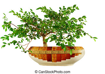elm tree, grown in a pot in form bonsai