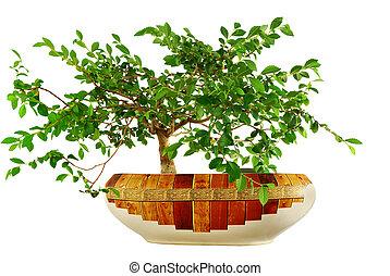 """elm tree  - elm tree, grown in a pot in form \""""bonsai\"""""""