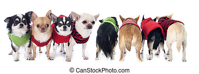 dressed chihuahuas in front of and back