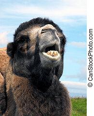 Camel (genus Camelus) portrait