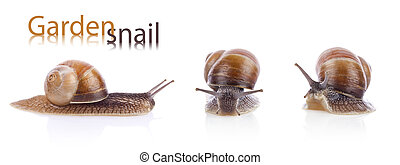 Set of garden snail Helix aspersa - Set of garden snails...