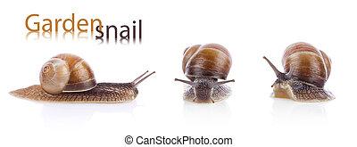 Set of garden snail (Helix aspersa) - Set of garden snails...