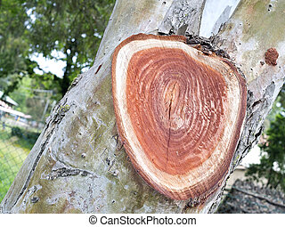 concentric rings in the wood of tree trunk - concentric...