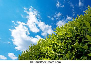 Hedge with Blue Sky