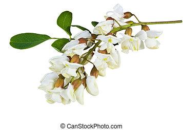 flores,  Acacia