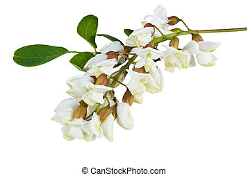 acacia flowers - fragrant acacia flowers on a white...