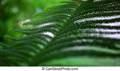 Fresh fir branch. Video with shift, change in focus and...