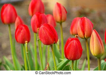tulip 62