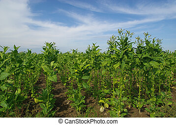 cultivated Tobacco 13